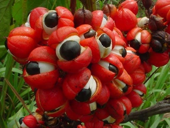 Guarana un super boostant mieux que la café